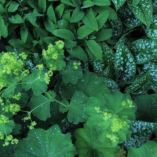 Med ögon känsliga för grönt { #pulmonaria #alchemilla #salvia #gröninspiration #trädgårdsarkitektur }