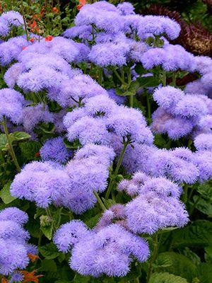 Ageratum houstonianum 'Blue Horizon'