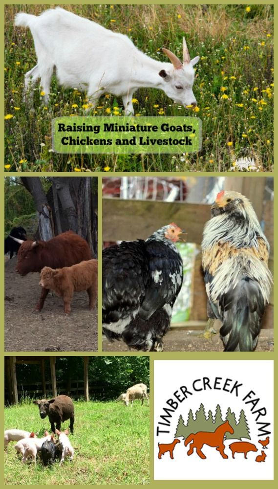 How to raise miniature goats, cows, pigs, chickens, and sheep.