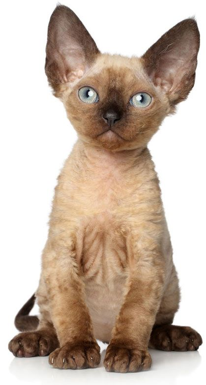 devonrex-cat