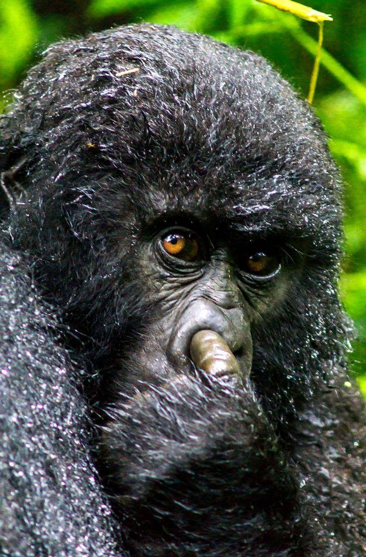 Les 25 meilleures id es de la cat gorie petit singe sur pinterest ouistiti pygm e marmouset - Petit singe rigolo ...