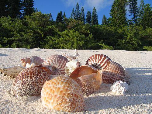 New Caledonia shells
