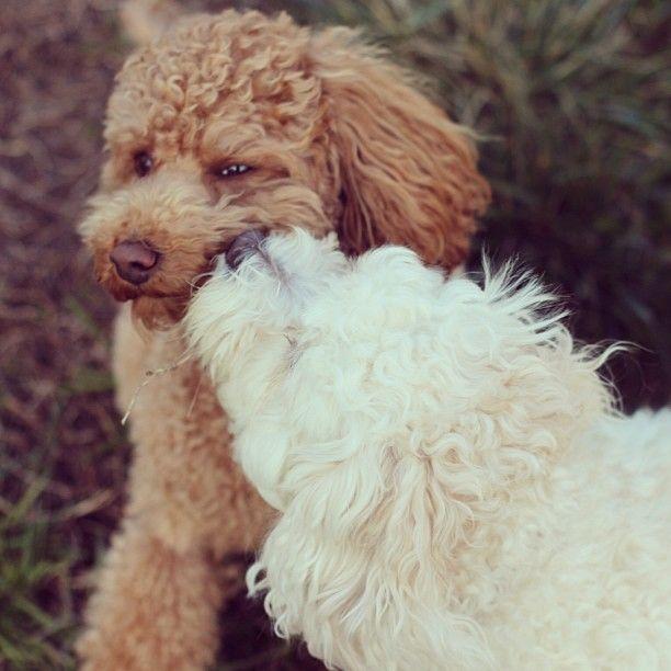 Dog breeds that don't stink | Poodle Pandimonium | Pinterest