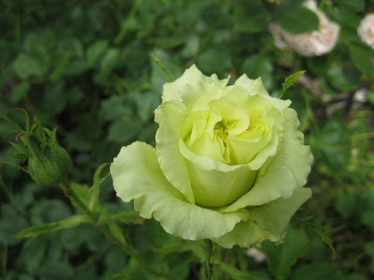 hybrid tea rose rosa 39 super green 39 italy 1997 roses. Black Bedroom Furniture Sets. Home Design Ideas