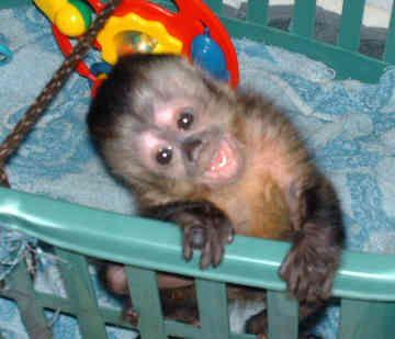baby capuchin monkey-how cute!