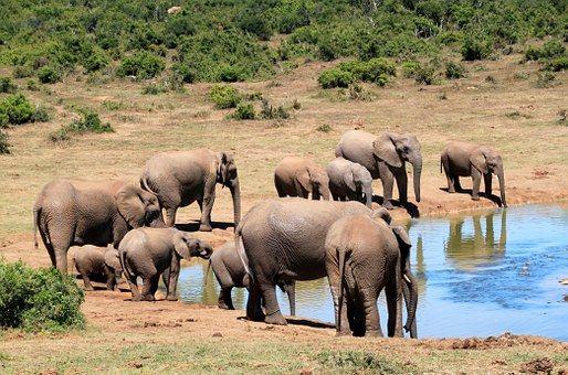 Elefanten, Afrikanischer Elefant