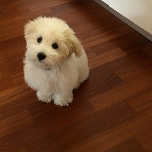 They look like living cotton balls. | 16 Reasons The Coton De Tulear Should Be Your Favorite Dog Breed