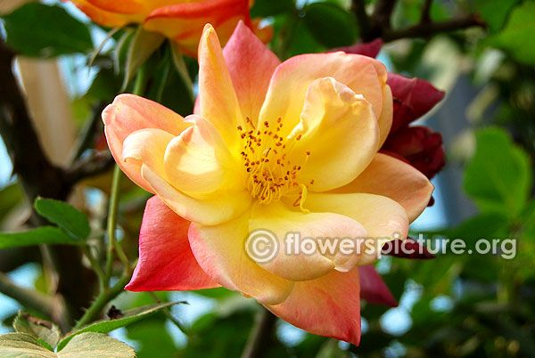 Apricot vigorosa rose