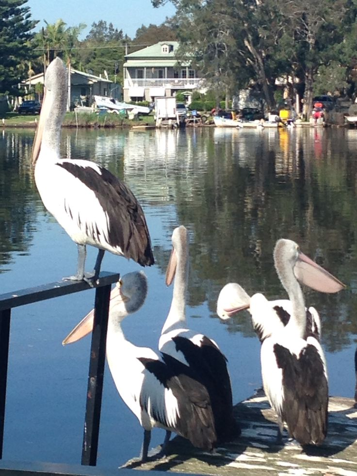 Pelicans along the peaceful Wyong River #wyongriver #peaceful #wyongshire #seeaustralia #pelicans