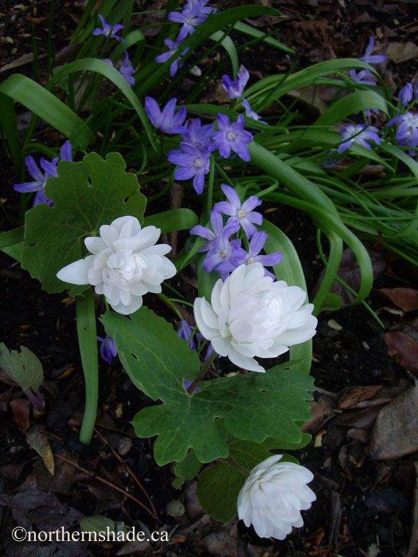 white double flowering bloodroot and bluish purple glory of the snow