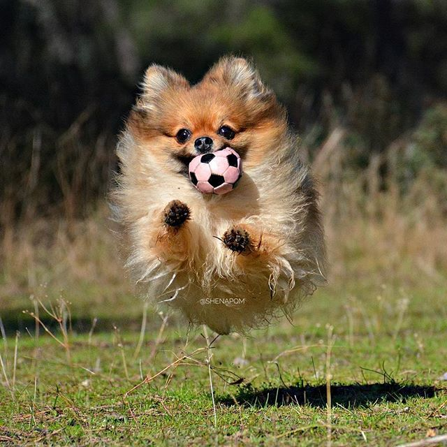 To infinity and beyond!!! . . .It's a bird, it's a plane, it's a Pomeranian