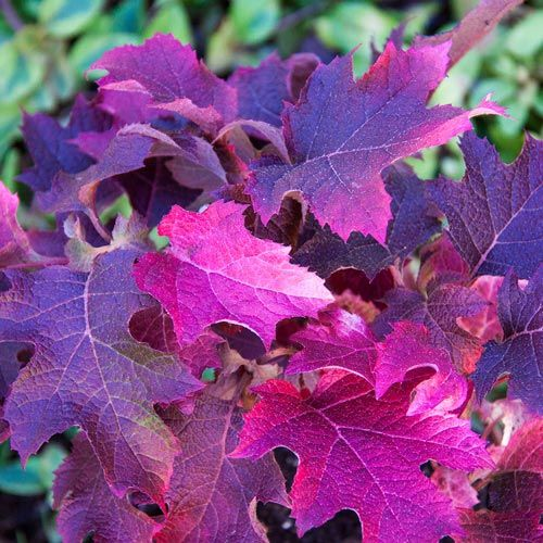 Ruby Slippers Dwarf Oakleaf Hydrangea - Gurneys Seed & Nursery