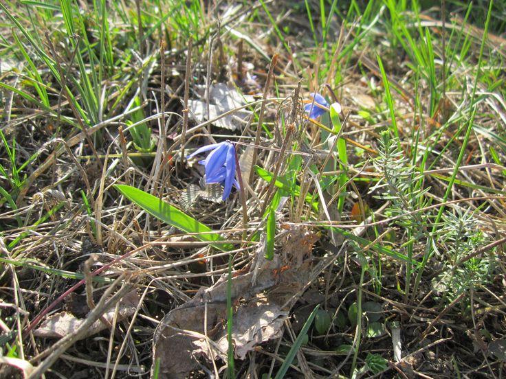 Многие ранневесенние цветущие растения привлекают своей красотой, но скромные цветы сцилла наверное навсегда прописались на нашем цветнике. Они отлично поддаются разведению. Морозостойки. Хорошо приспосабливаются к смене условий произрастания. Невосприимчивы к болезням. Неприхотливы и просты в уходе. И просто красивый и привлекательный цветок