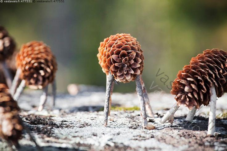 Käpylehmät IV - käpylehmä käpylehmät leikki lelu askartelu perinne perinneleikki perinteinen vanha leikkiväline leikkikalu leikkikalut luonto