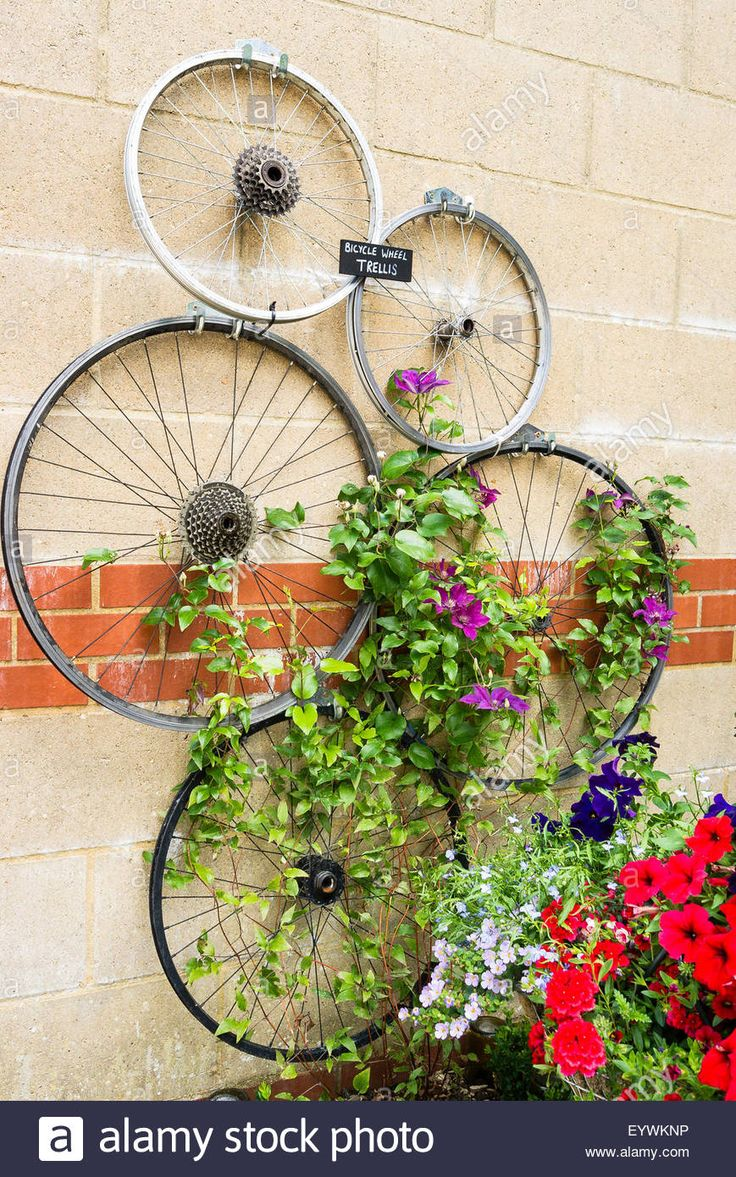 Five old bicycle wheels fixed to a wall to help train clematis climber plants Stock Photo
