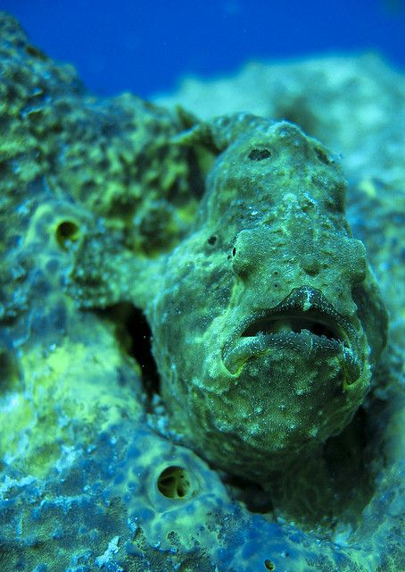 Frogfish so hard to find these buggers. Only one I have seen swam in fear In front of me then landed....