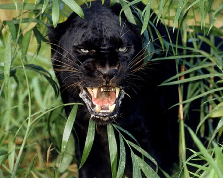 black panther power animal symbol astral travel feminine energy death rebirth