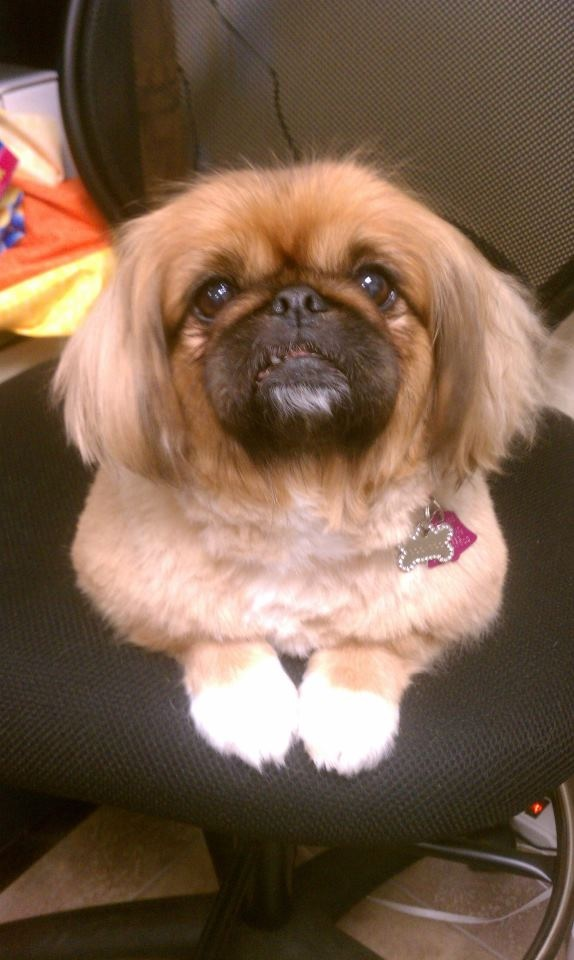 143 best ideas about in love with the Pekingese on Pinterest ... Ear Mites In Pugs