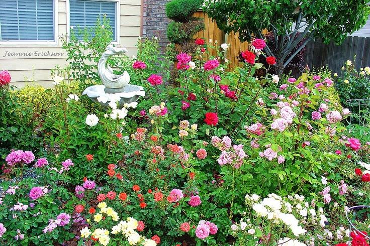 how to grow a rose garden