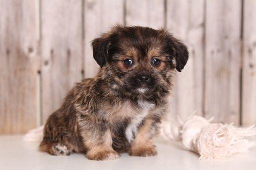 Shorkie Tzu puppy for sale in MOUNT VERNON, OH. ADN-53900 on PuppyFinder.com Gender: Male. Age: 8 Weeks Old