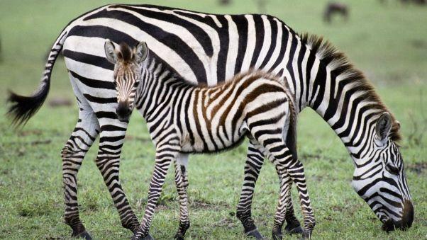 Wallpaper zebra, baby, grass, food