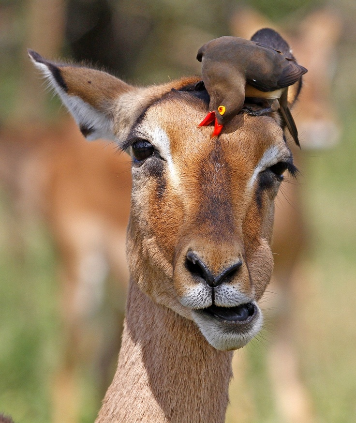 zebra and red billed oxpecker relationship help