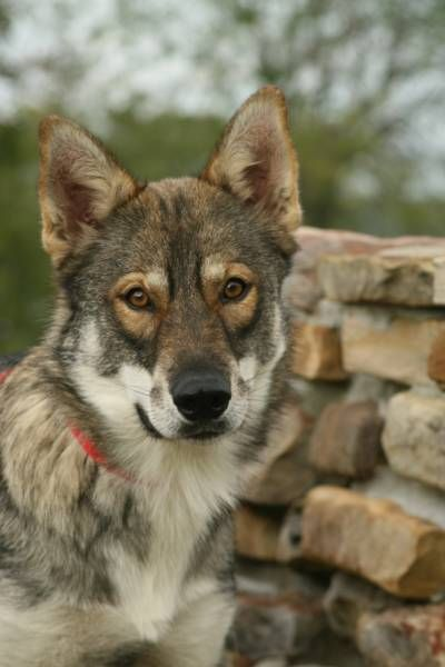 "Meet the Tamaskan Dog. NOT to be confused with a Wolf, this FULLY DOMESTICATED dog BREED is genetically no closer related to the wolf than your average labrador retriever! This (rare) breed is a type of sled dog & is categorized in the ""Working Group"". They are highly intelligent, laid-back, & affectionate dogs & make excellent family pets. ♥"