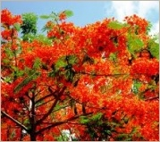 Beautiful Tree: Royal Poinciana (Delonix regia)  Hemingway's home in Key West, Fl.