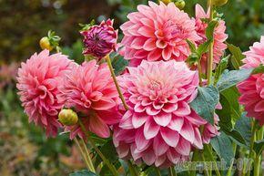 Не знаете, как посадить и вырастить георгины? Наша статья вам поможет обзавестись привлекательными цветами в собственном цветнике. Эта быстрорастущая культура идеально подходит для новичков, поскольку...