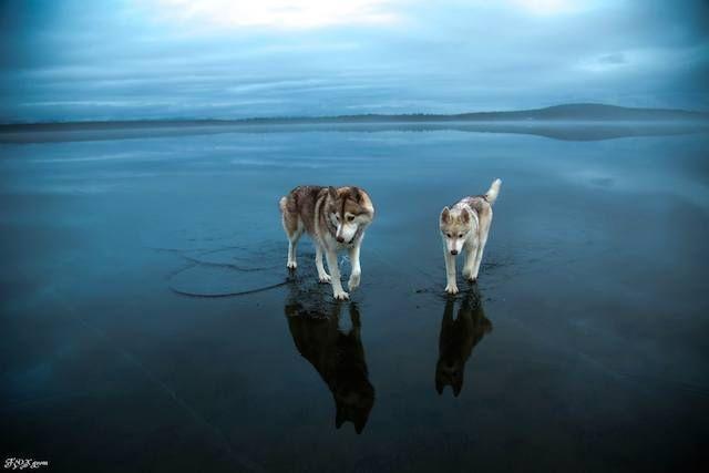 Sibiřský husky přechází přes zamrzlé jezero. - Tyhle nádherné snímky musíte vidět!
