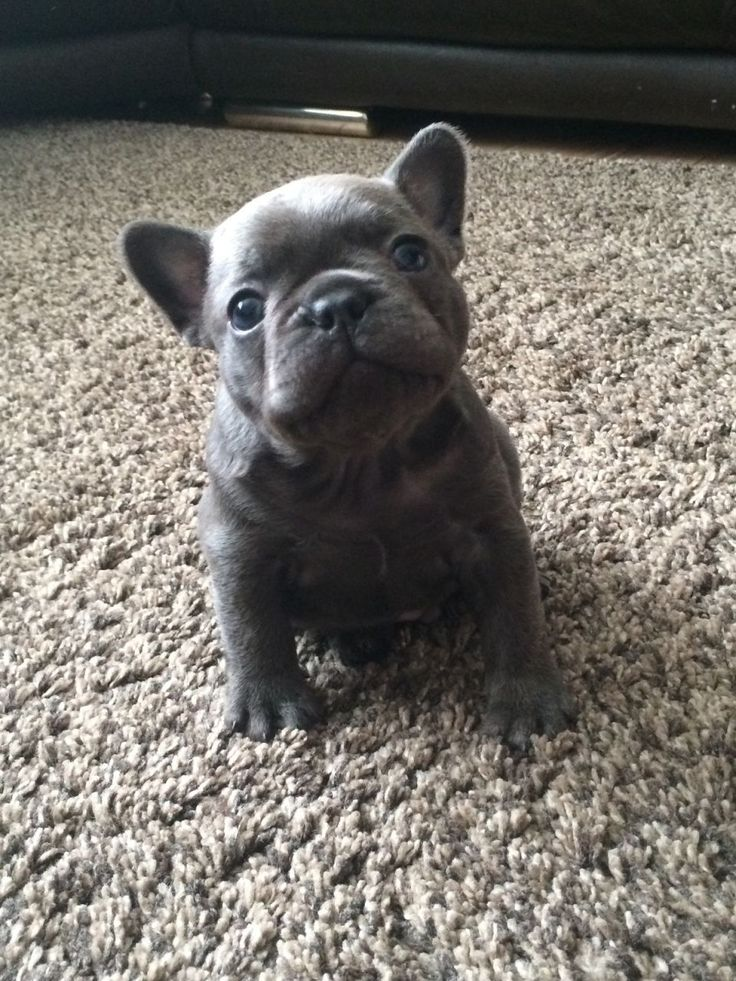 World famous RANDY puppies blue french bulldogs Barry