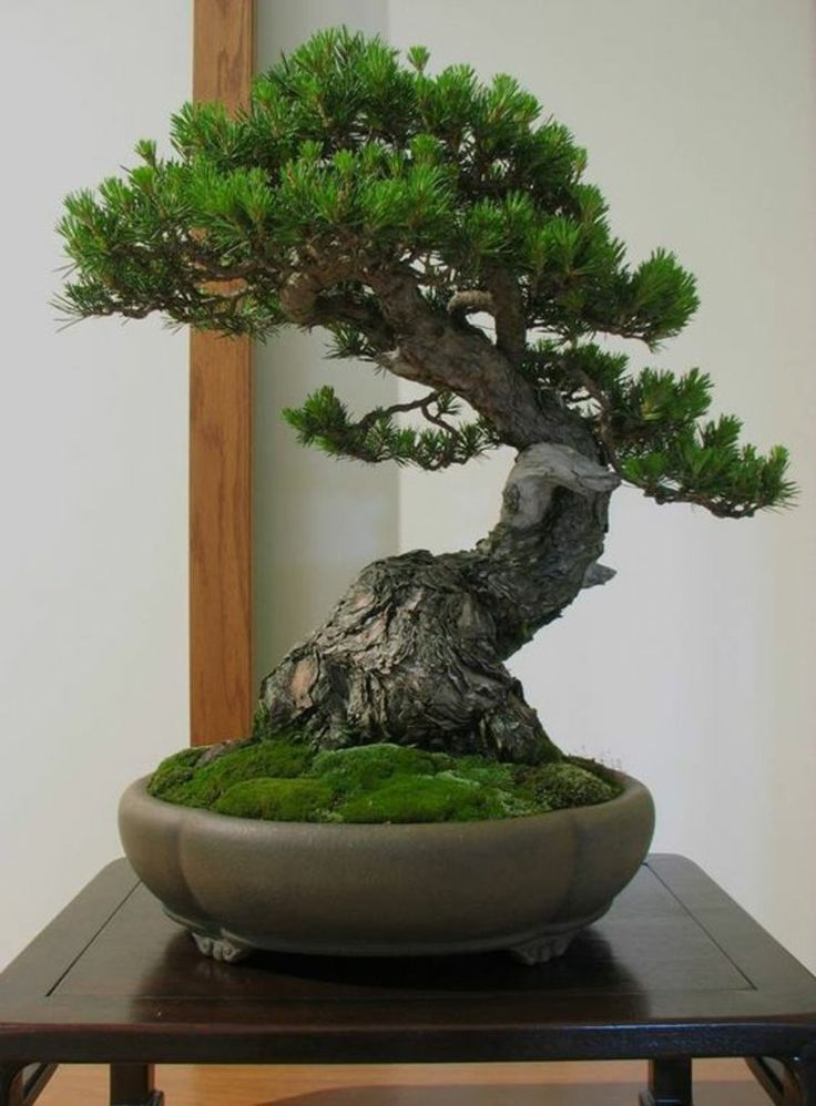 die besten 25 bonsai baum ideen auf pinterest bonsai. Black Bedroom Furniture Sets. Home Design Ideas