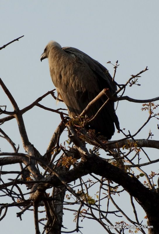 Vulture waiting for the day to warm up so that he can drift on the thermals