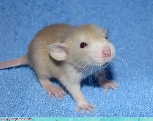 Cute baby rats - photo#17