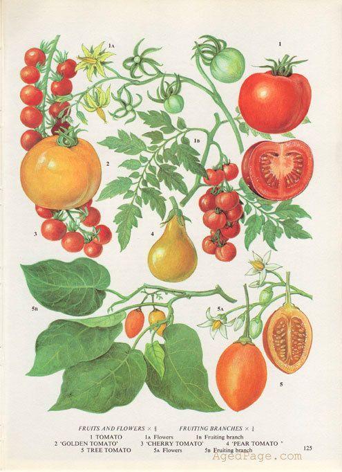 Tomato Plant, Kitchen Decor, Vintage Botanical Print, Wall Art Illustration, Garden, Summer