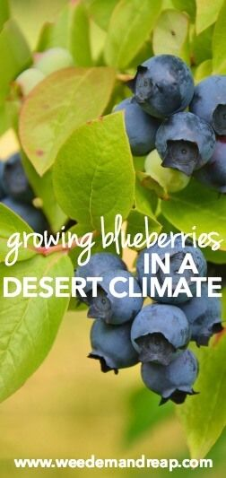Growing Blueberries in a Desert Climate || Weed 'Em and Reap
