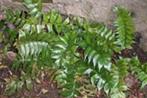 Aspidium falcatum  Additional Common Names: Fern Holly, Japanese Holly, Fish Tail Scientific Name: Cyrtomium falcatum Family: Polypodiaceae Toxicity: Non-Toxic to Dogs, Non-Toxic to Cats