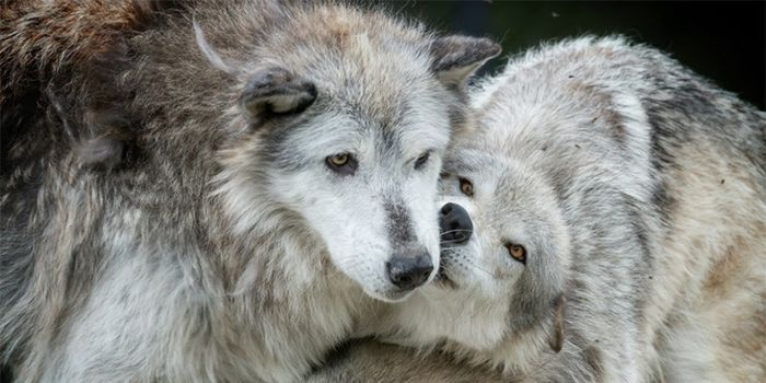 Members of Congress from MN, MI, WI and WY are trying to strip federal endangered species protection from wolves! (13040 signatures on petition)