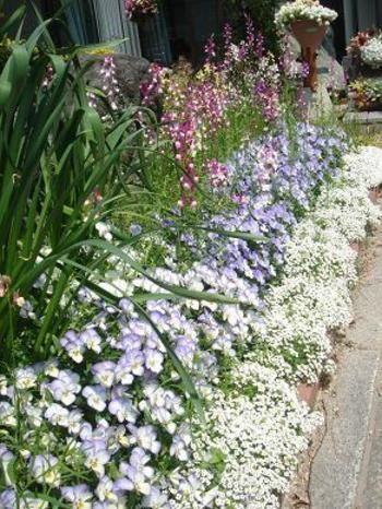 淡いブルーのビオラ、小さな花と甘い香りのアリッサム、背の高いリナリアの高低差ガーデニング。白から青、青から赤紫へのグラデーションが華やかですよね。
