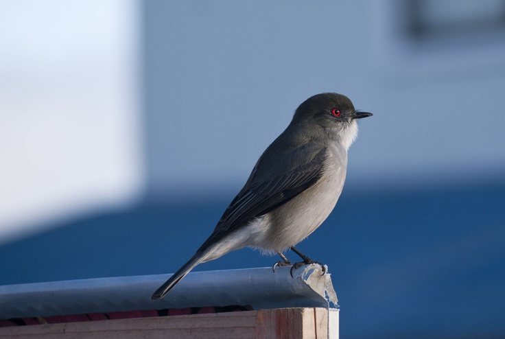 Diucon Punta Arena's Bird | Ave de Punta Arenas Chile by Sergio González, via 500px