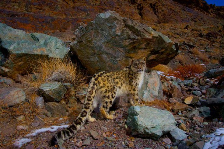 Accouplement, éducation et indépendance. Les léopards des neiges renoncent parfois à leur solitude, pour s'accoupler par exemple. L'accouplement a lieu à la fin de l'hiver, puis la femelle donne naissance à ses petits, deux ou trois en moyenne et jusqu'à cinq. La mère les élève jusqu'à ce qu'ils soient indépendants, vers l'âge de 18 à 20 mois.