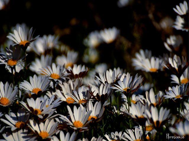 Dimorphotheca Cuneata, Free State Botanical Gardens, Bloemfontein (c) Florescence