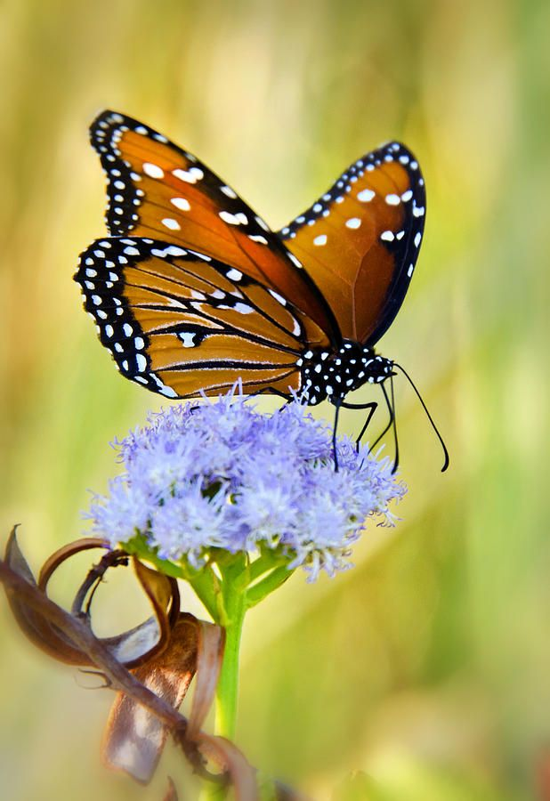 Summer Spirit. Queen Butterfly