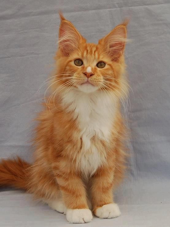 One of my favorite colors. Red tabby with low white.