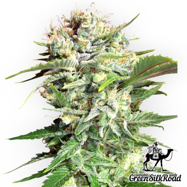 Bubble Gum Feminised is a classic indica strain, easy for cultivation and bringing a delightful harvest. This is a legendary hybrid with a unique flavor reminding the smell of the famous bubble gum. Creating a comfortable environment, you will obtain a record yield of about 450 g / m². During flowering its fragrant buds are covered with a huge number of crystals rich in THC (up to 20%). The height of the bushes does not exceed 130 centimeters, which allows cultivating the strain with any…