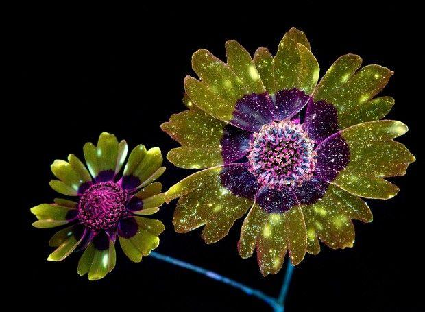 Flores fluorescentes (Foto: Reprodução/CPBurrows)