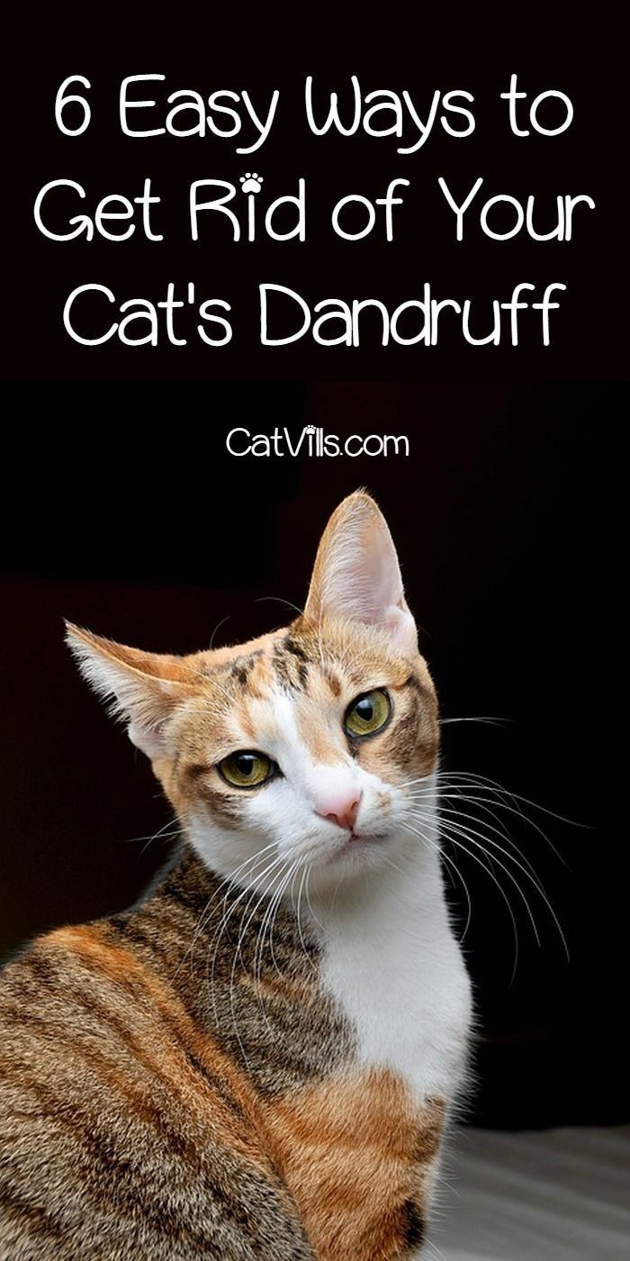 6 Easy Ways To Get Rid Of Dandruff On Your Cat Cat Dandruff Cat Dandruff Remedy Cat Training
