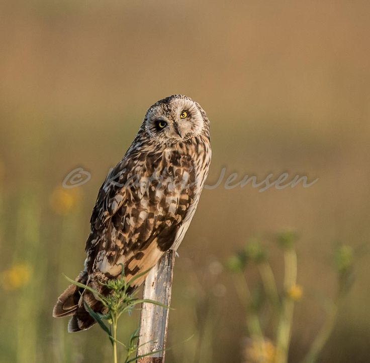 Short eared owl resting between flights in early morning light.  Available at etsy.com at natureartgallery