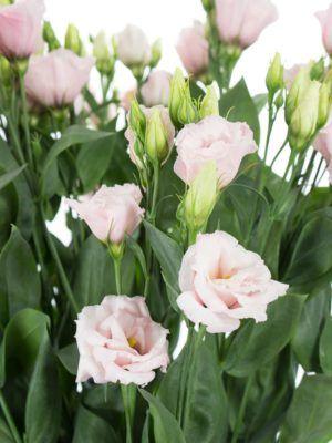 Lisianthus Eustoma Arena Light Pink Rosa Blumen Light Pink