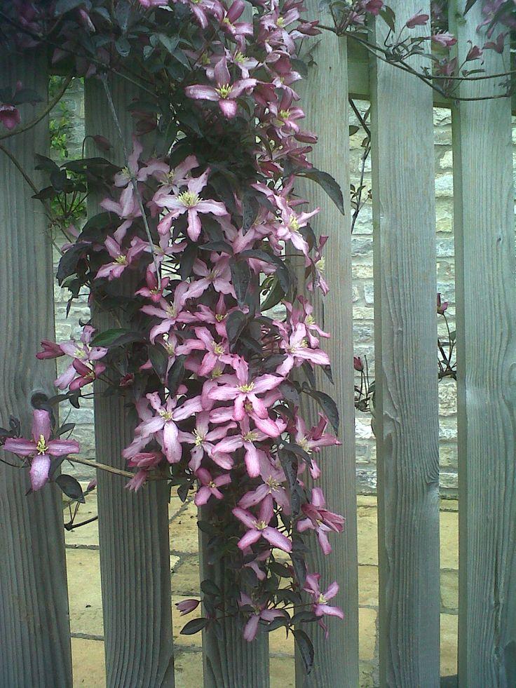 Spring clematis flowering